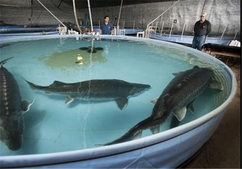 ساخت مجتمع پرورش ماهیان خاویاری دزفول هفته دولت آغاز میشود