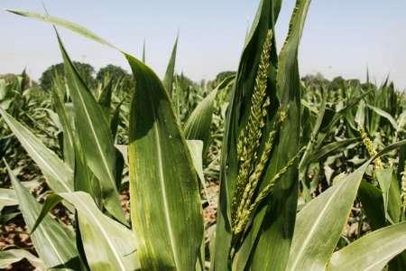معرفی 2 رقم جدید بذر ذرت در مرکز تحقیقات کشاورزی صفی آباد دزفول